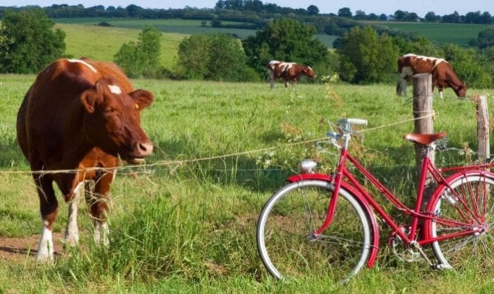 Vaches au pr et balade vlo